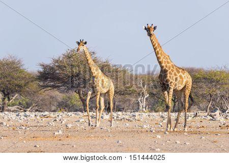 Couple Of Giraffe Walking In The Bush On The Desert Pan, Daylight. Wildlife Safari In The Etosha Nat