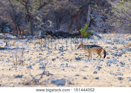 Black Backed Jackal Walking In The Bush, Daylight. Etosha National Park, The Main Travel Destination