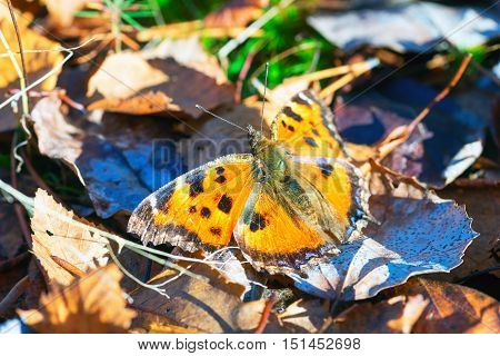 Butterfly urticaria basking in the sun. Siberia