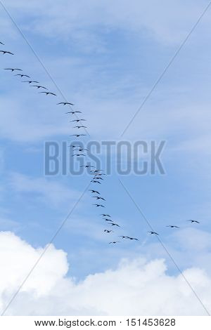 Brown Pelican Squad In Flight