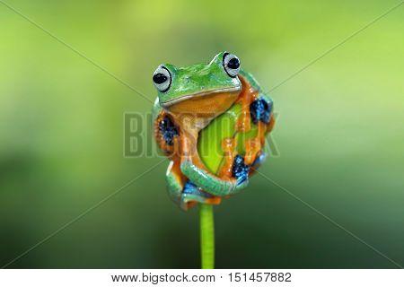 Javan frog ready to jump on a twig