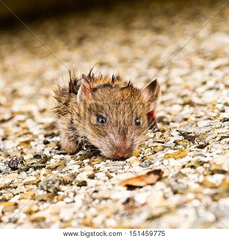Dirty Small Mouse Out Of The Sewers
