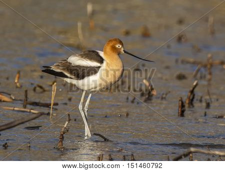 A beautiful American Avocet with its upturned bill feeds in the shallow waters of a Lake Michigan inlet during its spring migration.