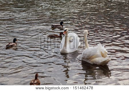 Family of white swans swimming in the beautiful pond