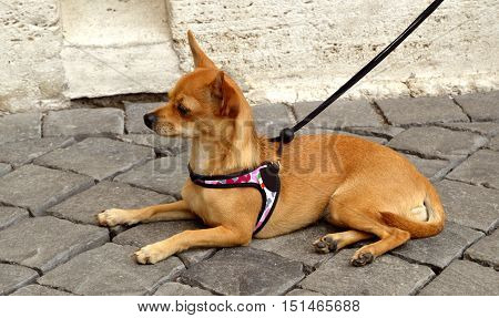 Basenji dog known as the barkless dog this dog breed is far from mute. The Basenji makes a wide variety of delightful vocalizations including yodels poster