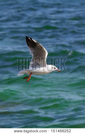 White Seagull (Larus) in flight on a blue ocean water background