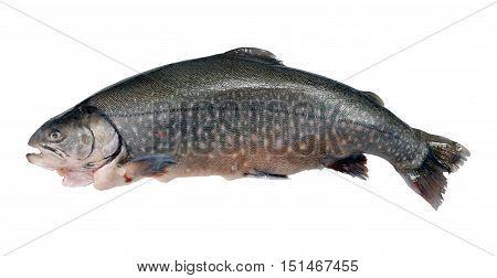 prepared salmon on a white background .