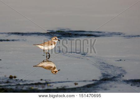 Lesser Sand Plover or Charadrius mongolus reflection, Bahrain