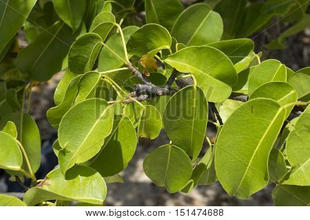 Closeup of yellow green leaves on branch of poisonous manchineel tree on Caribbean island of Isla Culebra in Puerto Rico