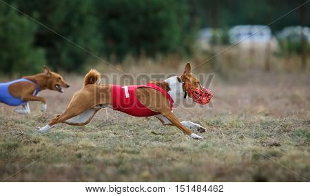 Dogs Runs in the field of mechanical lure. Basenji dogs runs across the field. At the dog wearing a muzzle and a T-shirt