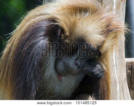 Sleepy Gelada Baboon
