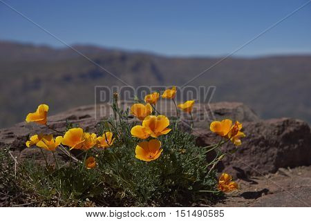 Bright orange flowers of the Californian poppy (Eschscholzia californica) in the mountains surrounding Santiago, Chile
