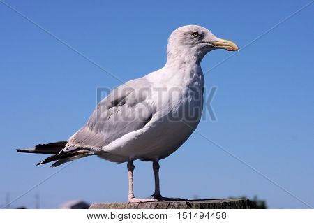 Large seagull sitting on a wooden deck post on a sunny day.
