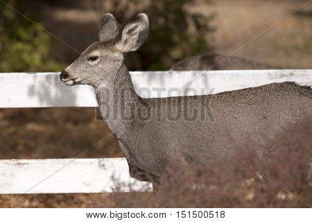 Side view of white tail deer. A white tail deer stands next to a wooden fence in the town of Twisp Washington.