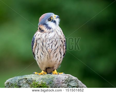An American Kestrel on a stone with green background