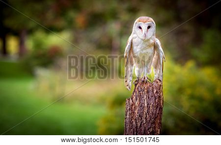 A barn owl with the green backgound