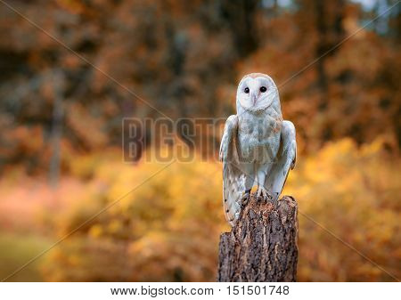 A barn owl with fall trees in the background