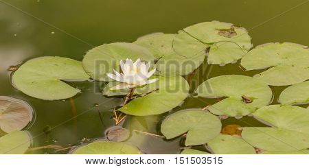 Lilly pads with a single white lotus flower and small frogs sitting on the pads