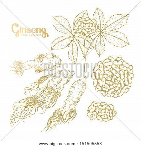 Graphic ginseng root and berries drawn in line art style. Herbal medicine. Vector plants in golden colors.