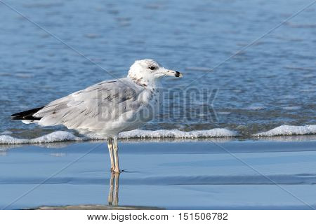 Single seagull standing in the shallow ocean water at the beach