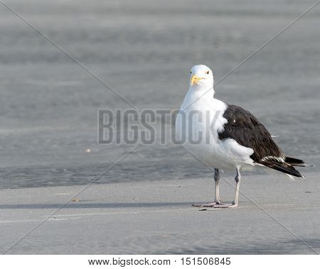 Great black backed seagull standing on the grey beach sand