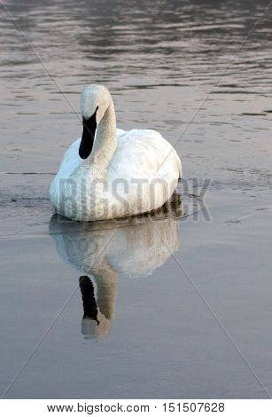 White Trumpeter Swan calm reflections in Yellowstone River in Yellowstone National Park in Wyoming USA