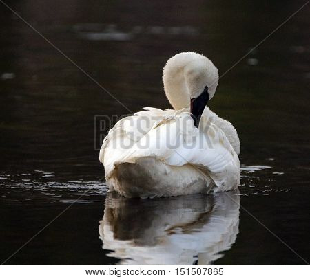 White Trumpeter Swan arching his graceful neck in Yellowstone River in Yellowstone National Park in Wyoming USA