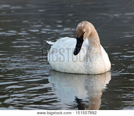 White Trumpeter Swan in Yellowstone River in Yellowstone National Park in Wyoming US of A