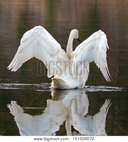 White Trumpeter Swan spreading his wings while reflecting in the Yellowstone River in Yellowstone National Park in Wyoming USA