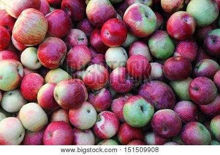 close up on fresh Macintosh apples in harvest season