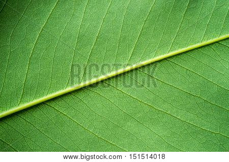 Green leaf texture or Background. Nature scene.