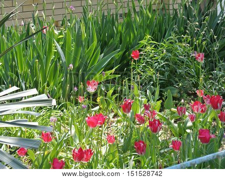 Bright crimson tulips in garden on background of yellow brick walls sparkle in dazzling rays of midday sun and swaying in wind