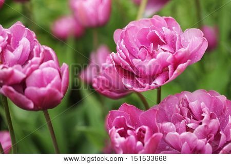 Pink Peony flowers, beautiful pink  peony flowers in full bloom in the garden in spring