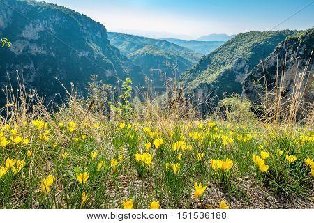 Blooming yellow crocuses on the edge of Vikos gorge near Monodendri. Zagoria Epirus Greece Europe