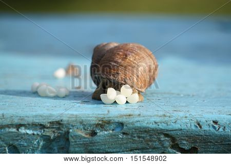 Snail laying her eggs on a wooden surface outdoors. Snail reproduce.