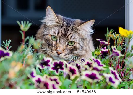 cute fluffy cat on a window in the flowers petunias