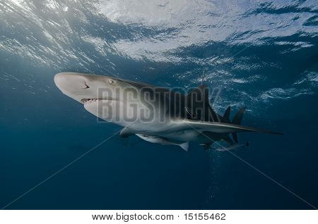 Lemon shark and remora, Bahamas