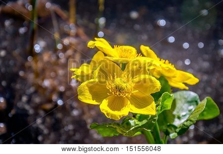 Closeup of a yellow blooming marsh-marigold or Caltha palustris in a marshy area on a sunny day in the spring season.