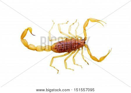 Yellow scorpion on top, carved on a white background.