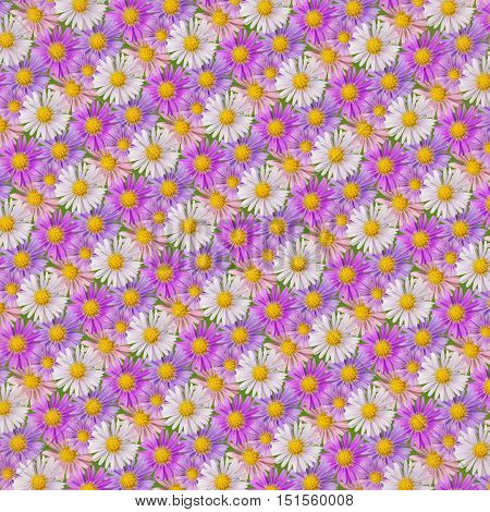 Abstract background of pink violet and white aster flowers on green. Studio photography.