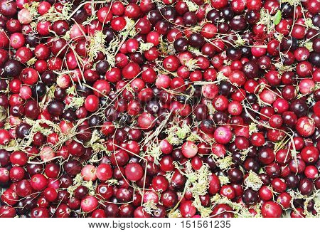 Forest cranberries and moss background, top view