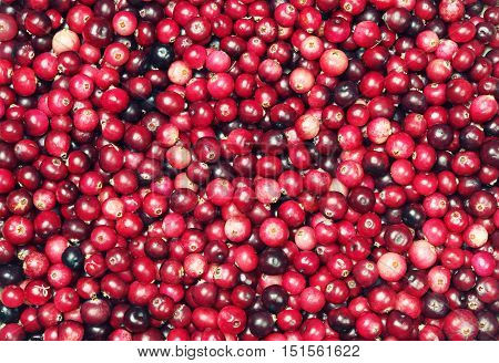 Fresh forest cranberries background texture close up