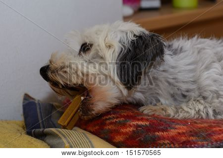 Havanese - small breed dog chews intensively on a chewing stick