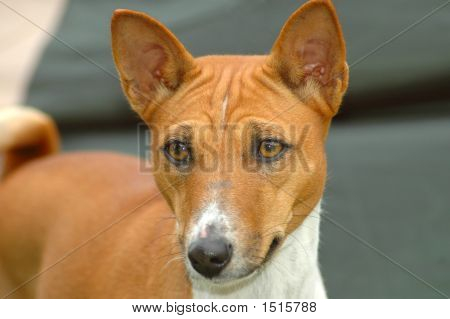 Basenji Dog Head Portrait