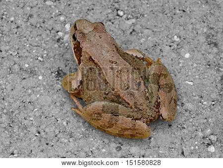 Reptile marsh frog resting on the ground.