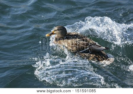 Nature, animals, fauna, birds, waterfowl, ducks, duck, duck, duck