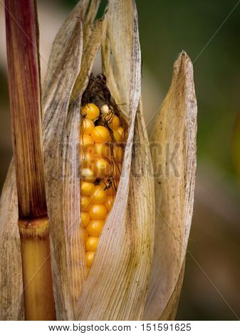 An ear of corn, ready to be harvested