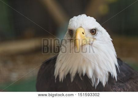Bald Eagle (Haliaeetus leucocephalus) up close showing eyes and head