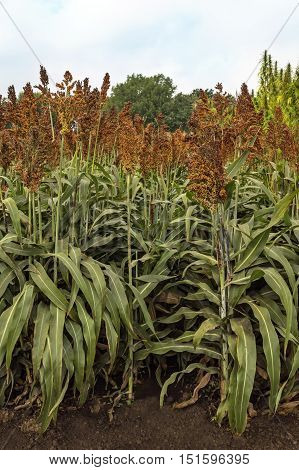 Sorghum plantation field an agricultural concept. Sorghum plant used for food animal fodder and biofuels.