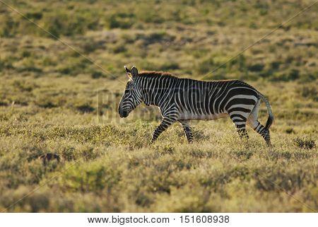 Mountain Zebra, Equus zebra, Karoo National Park, South Africa